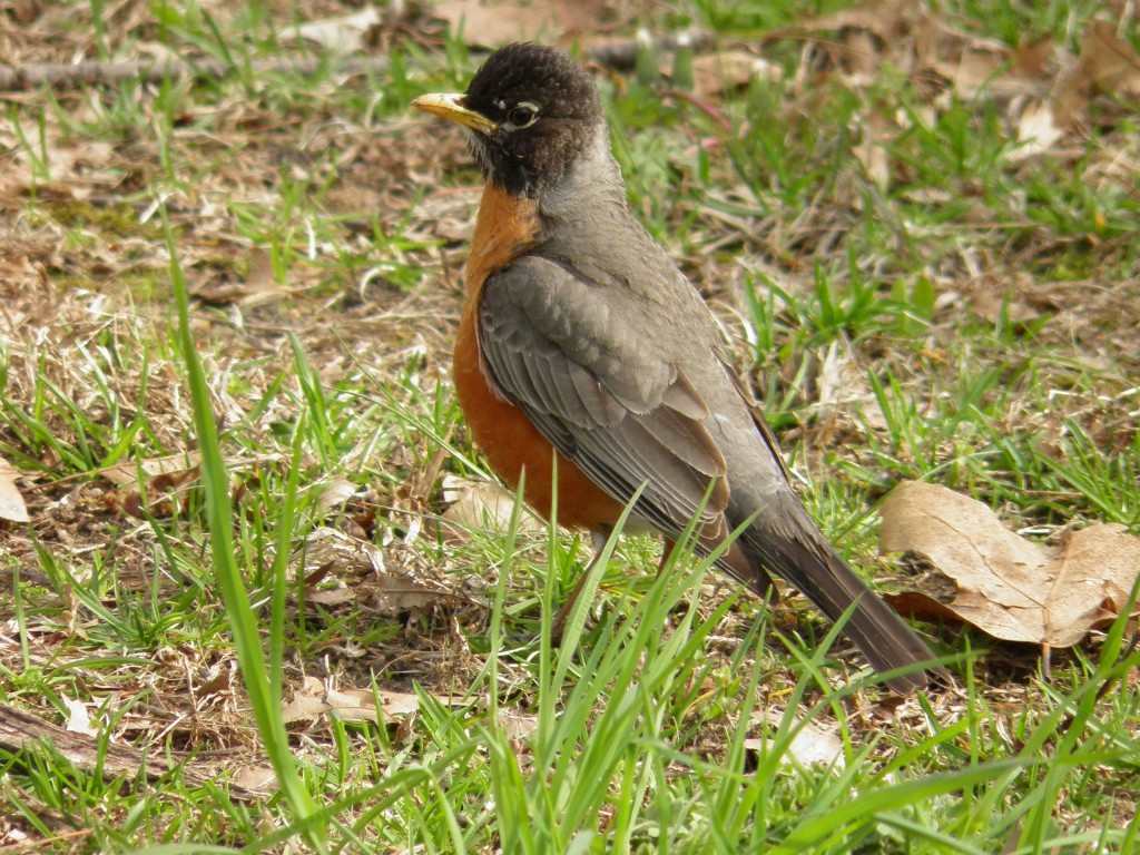 A normal robin in spring