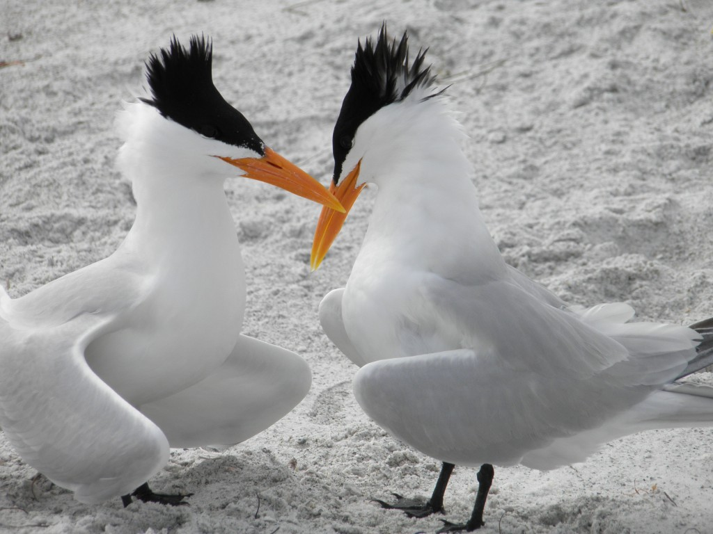 Two royal terns in a courtship ritual, wing joints out bills almost touching. One in a submissive pose. This pair may or may not wind up mating, this is just a courting ritual.
