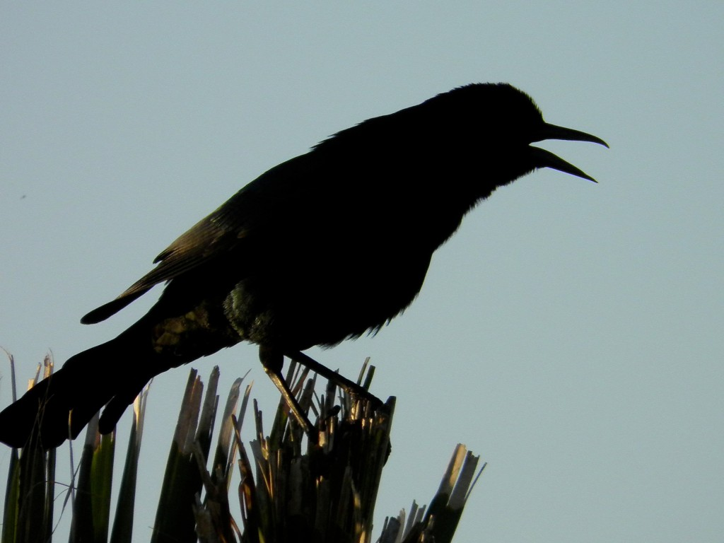 This is a grackle in silhouette, calling loudly. Check out the slightly down-curved upper mandible.