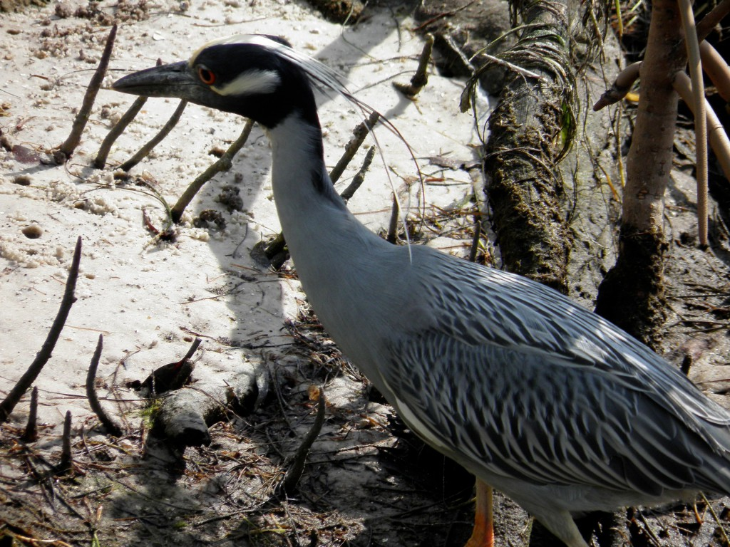 The above is a yellow-crowned night heron. That body looks as if it were painted by the hand of an invisible artist.