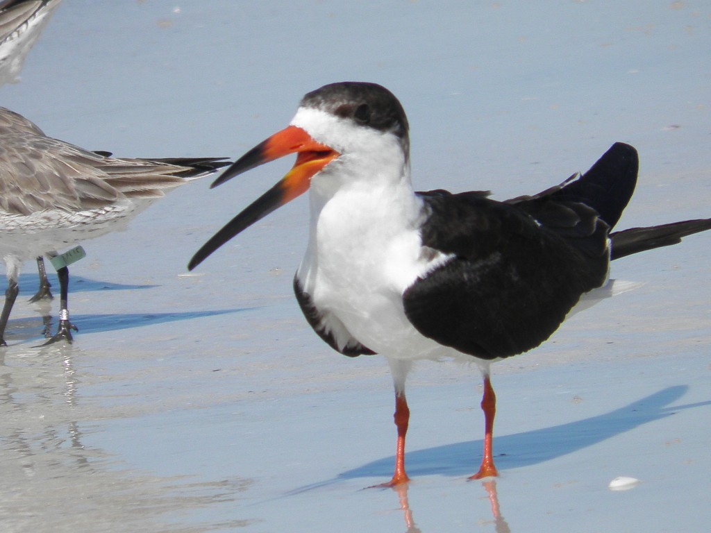Above is a black skimmer whose lower mandible is longer than the upper. This is the only bird in the world with this feature.