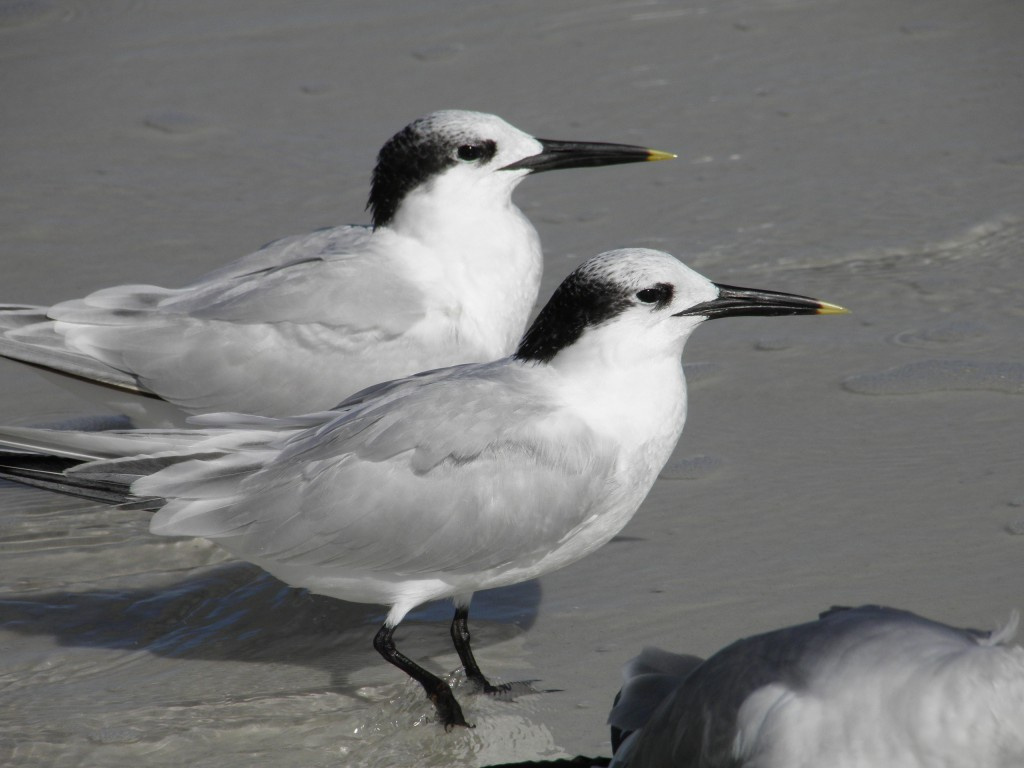 "Above are 2 sandwich terns, They are named for the Sandwich Islands,not because they have yellow ""mustard"" stained, tipped bills."