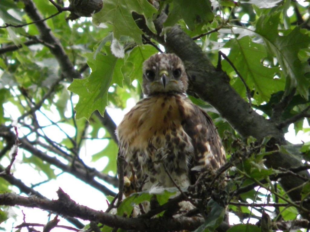 A red-tailed hawk fledgling, meaning it is almost grown but cannot yet fly