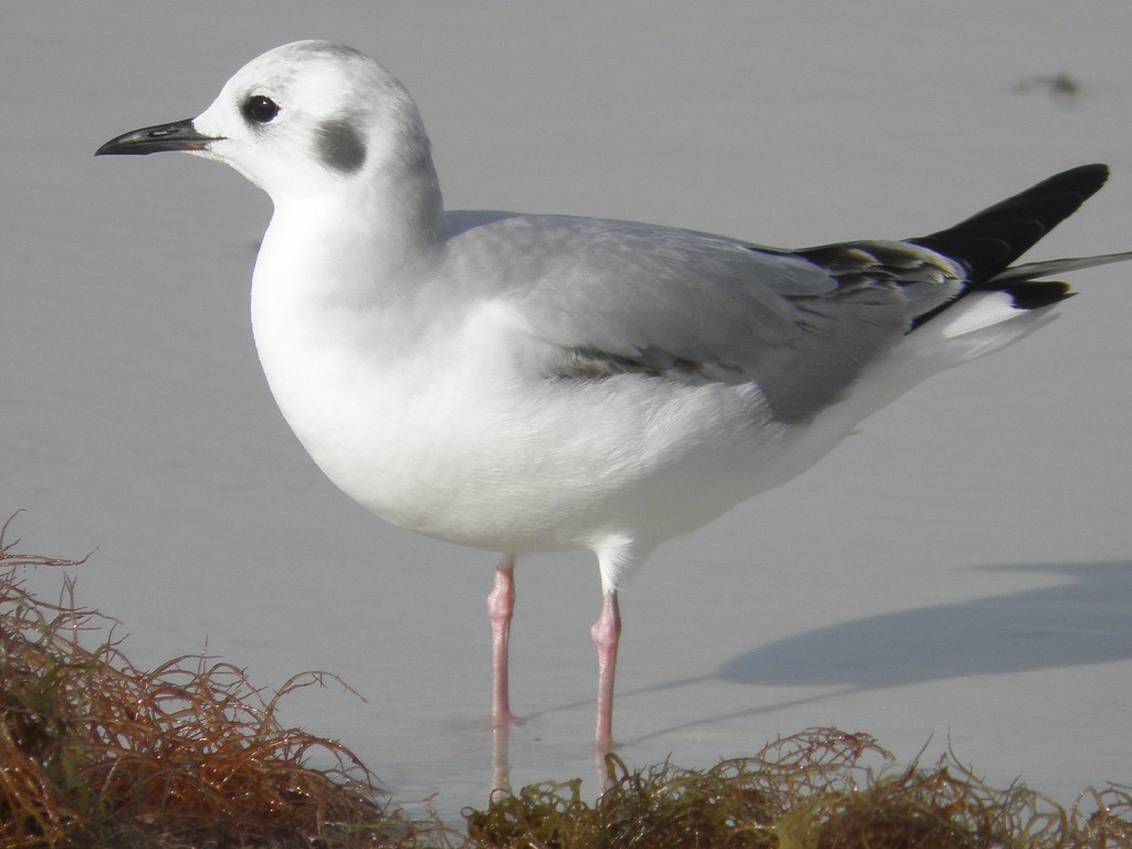 A Bonaparte's Gull named for Napoleon's nephew who was a zoologist.