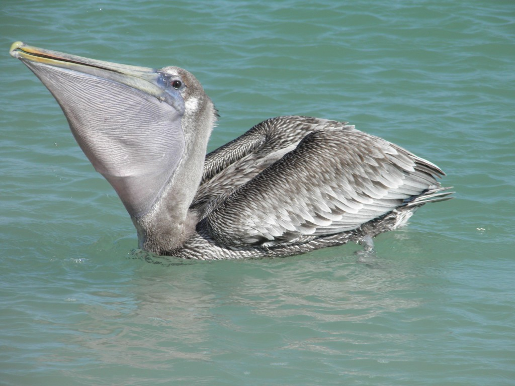 A brown pelican with pouch extended and the bulge in it, a fish being swallowed.