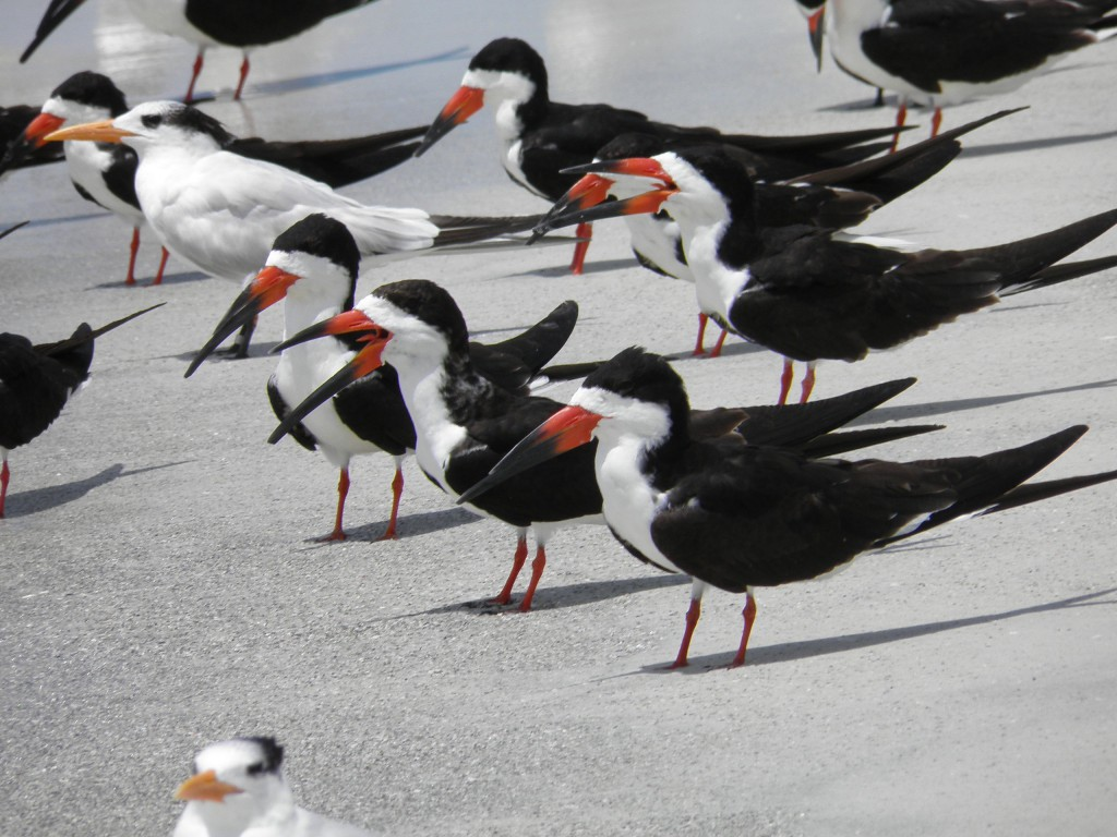 Above a group of black skimmers. They socialize all day and leave lot of footprints.