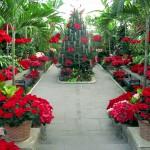 Planting Fields Arboretum's greenhouse is full of poinsettias.