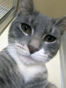 Eugene Eugene is a young male kitten with a big personality. He was found over the summer and brought to the shelter as a stray. Both healthy and playful, this kitten would do well in just about any caring family.