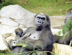 Gorilla mom and baby (Photo by Tab Hauser)