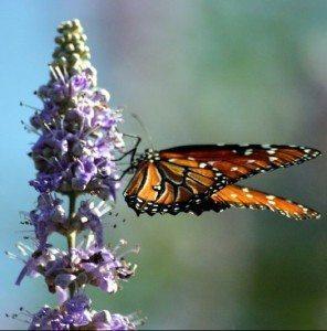 Butterfly_on_Butterfly_Bush_(18470787)