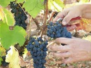 It's harvest time in wine country.