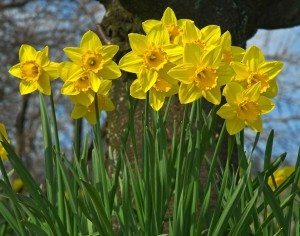 Daffodils are less attractive to squirrels and also make a huge impact when planted in groups.