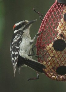 Downy woodpecker (Photo by Christy Hinko)