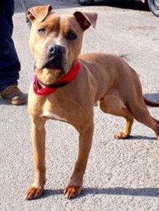 Baxter is about 7 months old and he is great with all people, older kids and other dogs.
