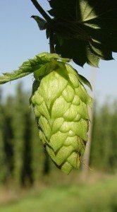 IPA_Beer_120915_Hop1-silo