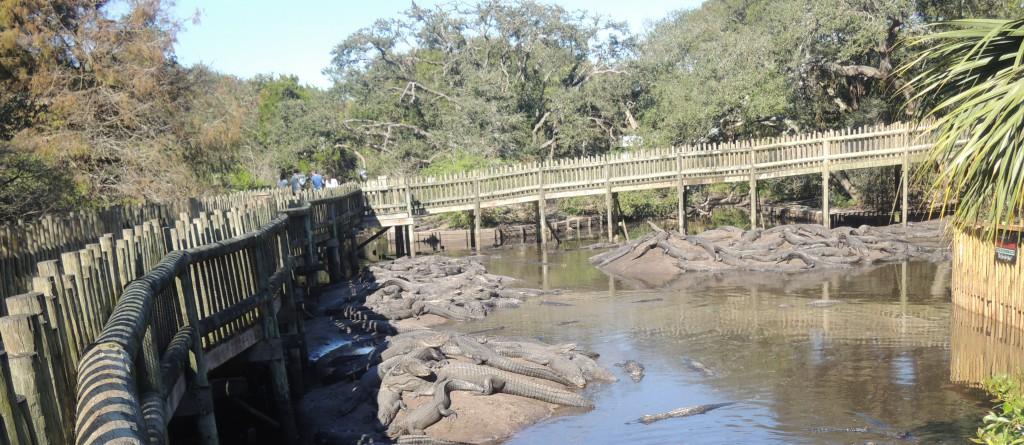 AlligatorFarm_010615D