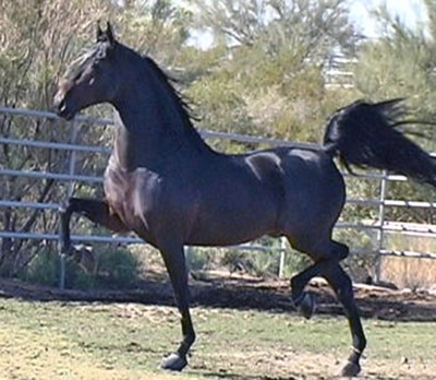 American Saddle Bred