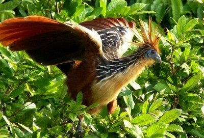 """Found in swamps around South America, the hoatzin is also commonly known as the """"stinkbird."""" Courtesy of Wikimedia Commons"""