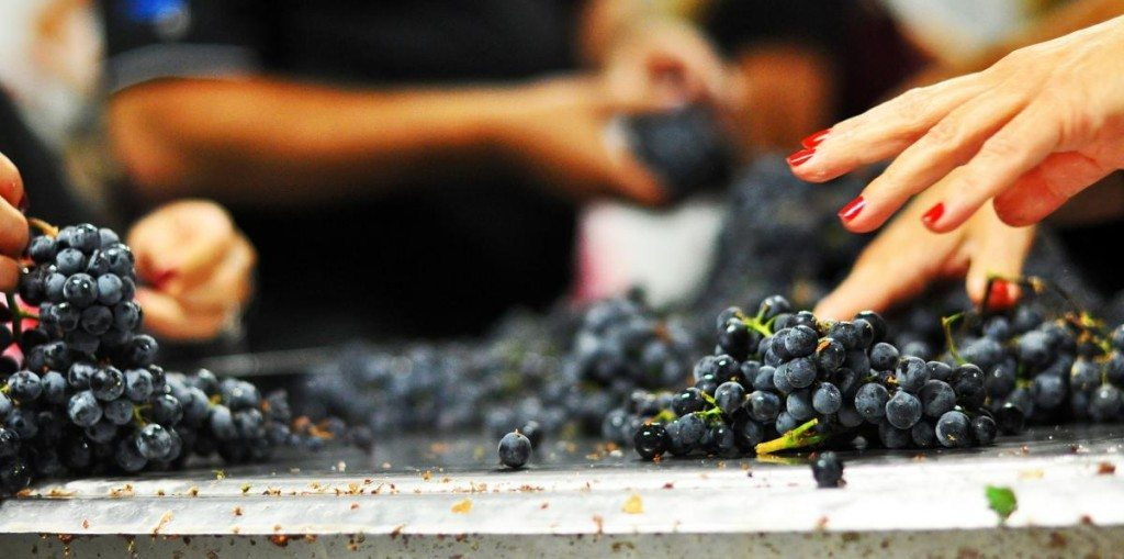 WineDesign__Grapes