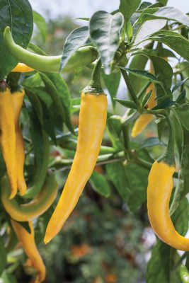 Golden cayenne peppers (Photo by Bonnie Plants)