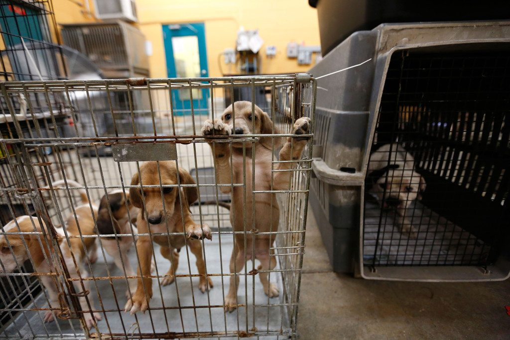 The Humane Society works with local animal welfare agencies to rescue animals from flooded areas on Tuesday, Aug. 16, in Baton Rouge, LA. (Tyler Kaufman/AP Images for The Humane Society)