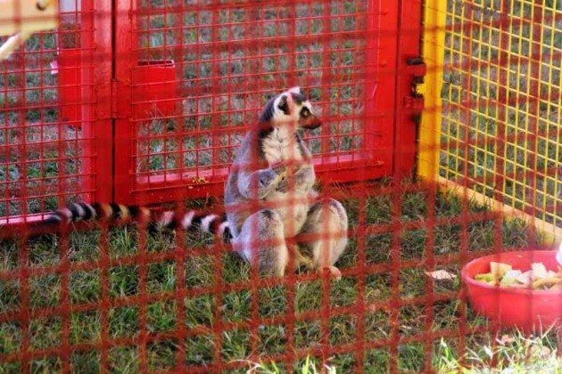 Lemur Long Island Fair Gallery Photo by Kimberly Dijkstra