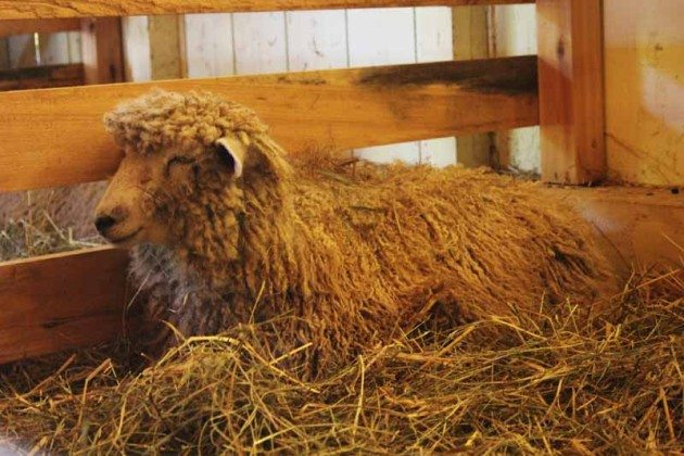 Livestock Long Island Fair Gallery Photo by Kimberly Dijkstra