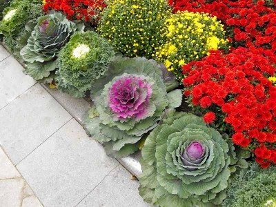 Mums and ornamental cabbage fall garden