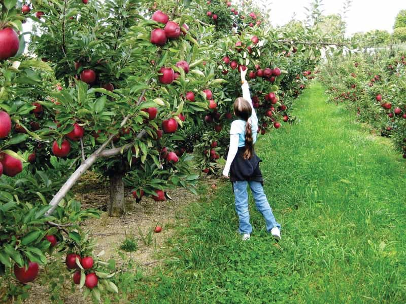 apple orchards