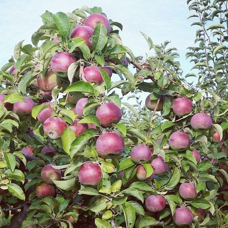 Best Apple Picking On Long Island