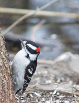 Woodpecker (Photo by Christy Hinko)
