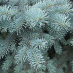 Forest Nature Branch Spruce Blue Spruce Trees