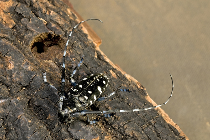 Asian longhorned beetle new york