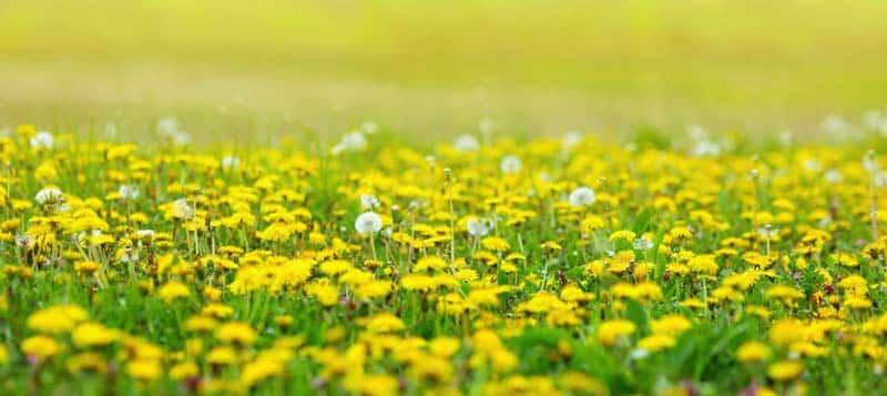 Dandelion flowers in grass yellow field