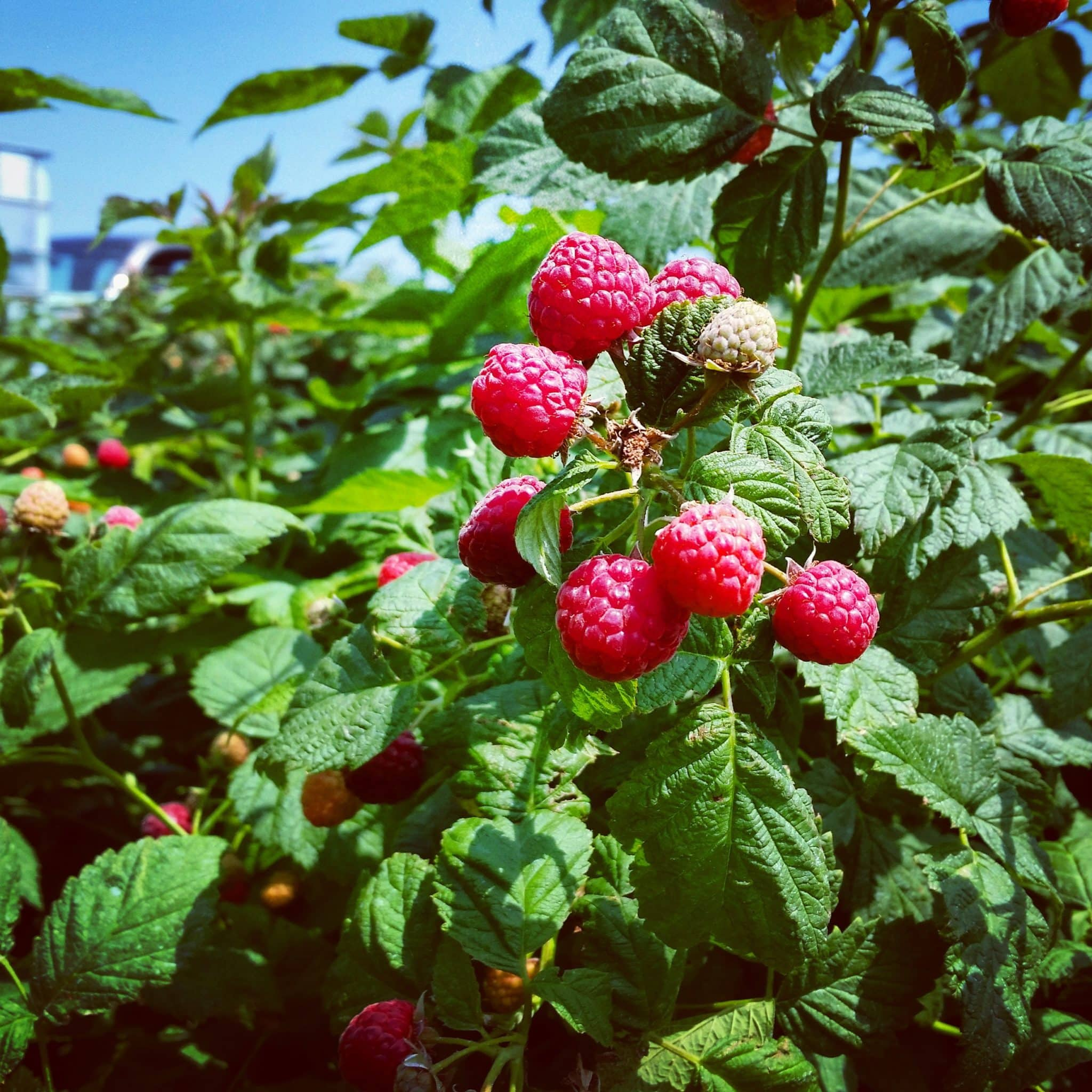 Pick Your Own Berries On Long Island